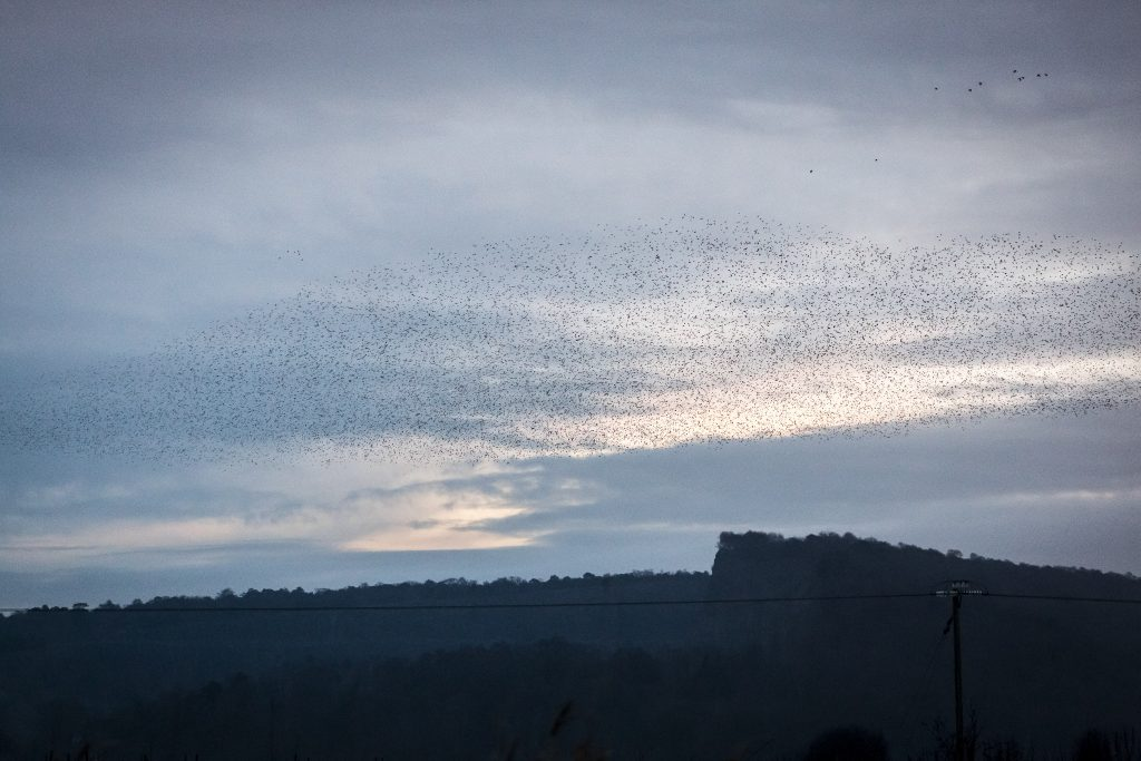 starlings form dolphin shape in sky