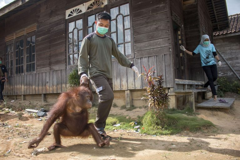 orangutan rescued