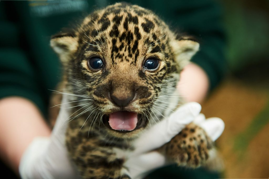 I am the one and only! Adorable pictures of UK's only Jaguar cub ...