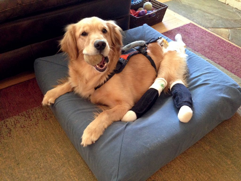 Paralysed Golden Retriever Recieves Perfect Paws For