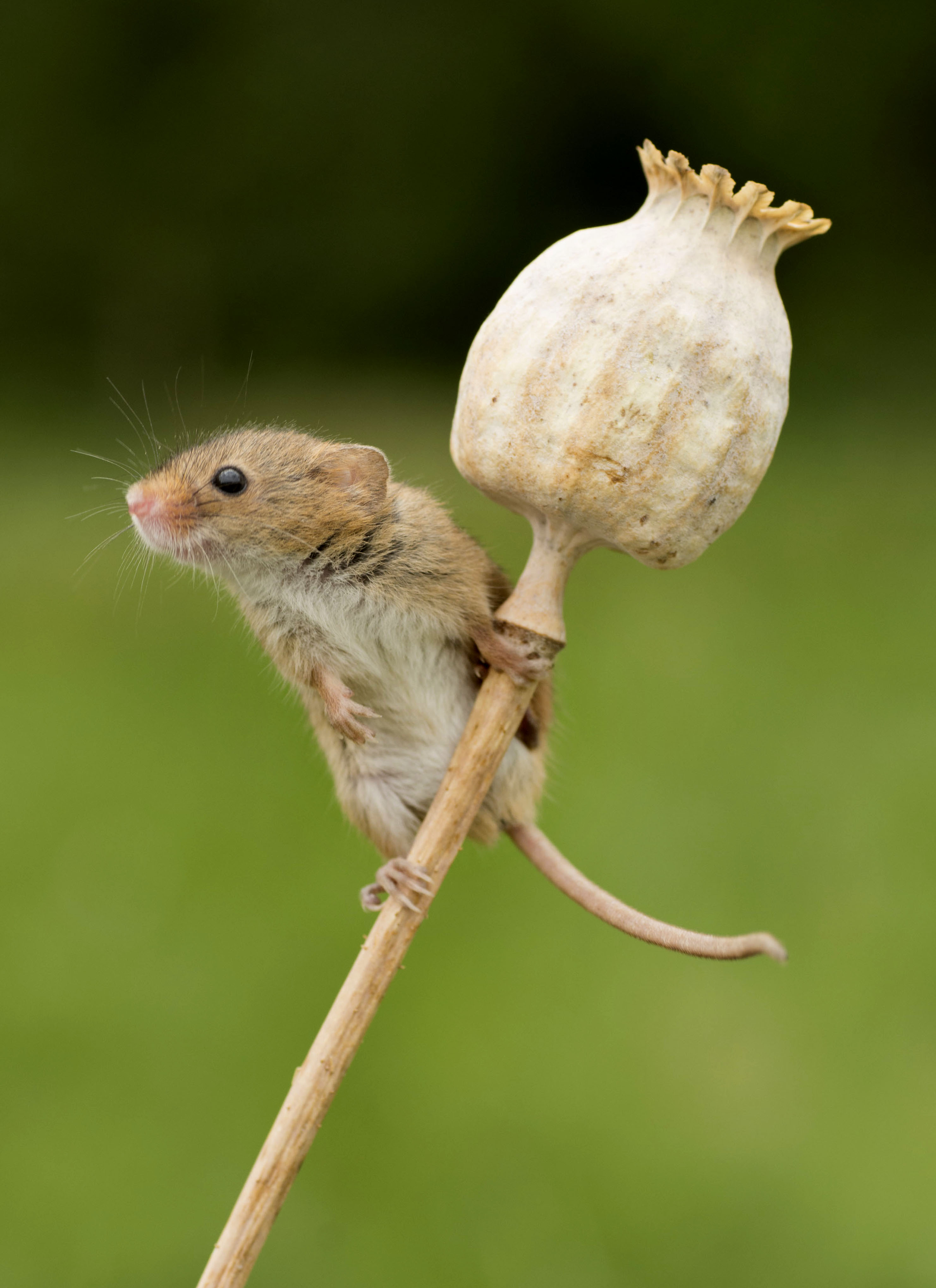 Caught in the act - Adorable harvest mice captured on ...