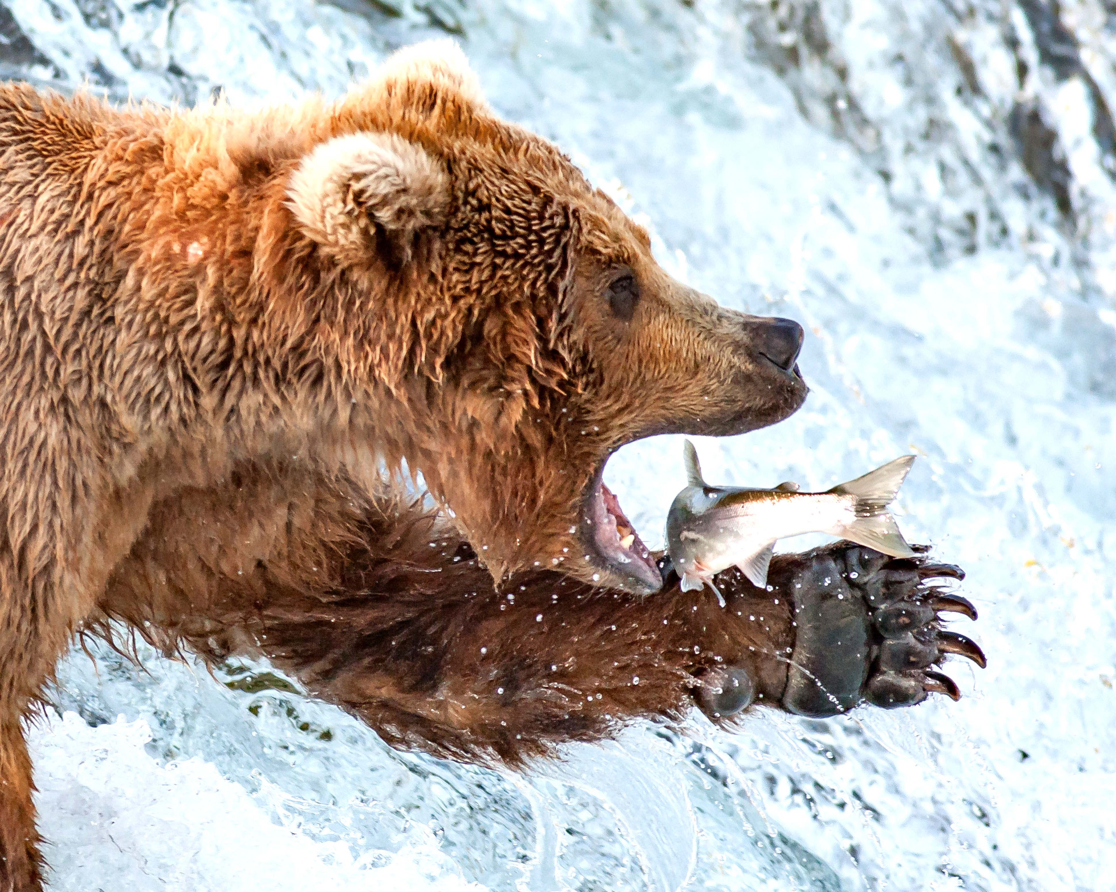 Slippery as a fish bear struggles to catch leaping for Fishing in big bear