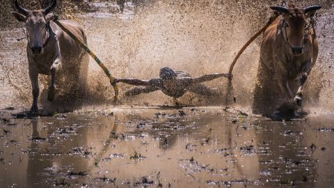 Bull racing isn't just dangerous – it's mucky Image