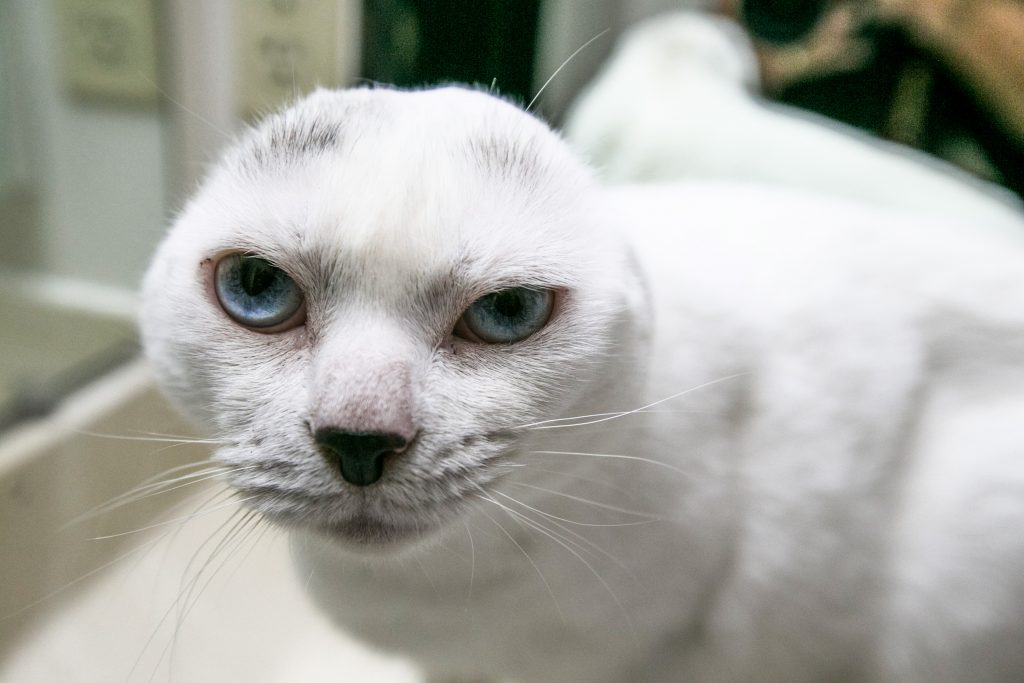 Blue Eyed Earless Cat Finds Identical Best Friend In
