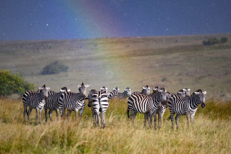 Zebra Appears To Sing In The Rain Cheer Up Miserable Pals