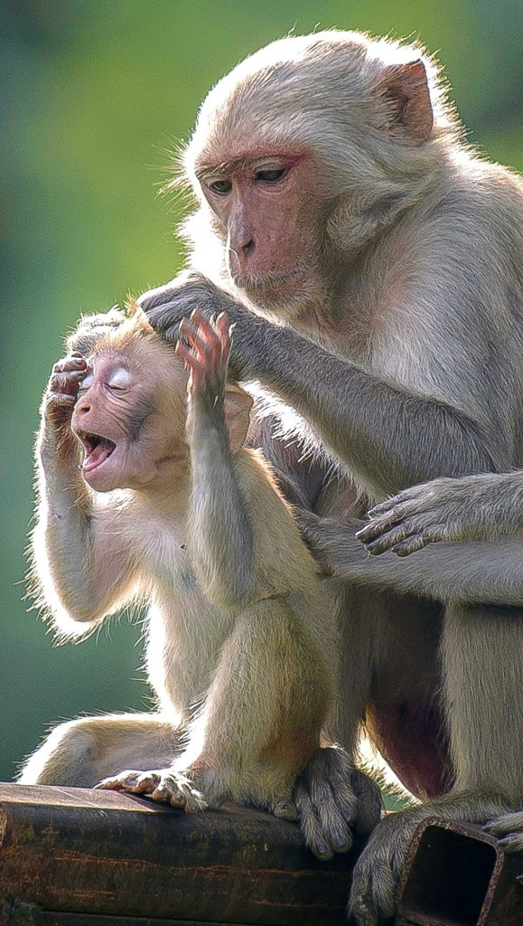 ouch mum that hurts! adorable baby monkey pulls a face as doting mum