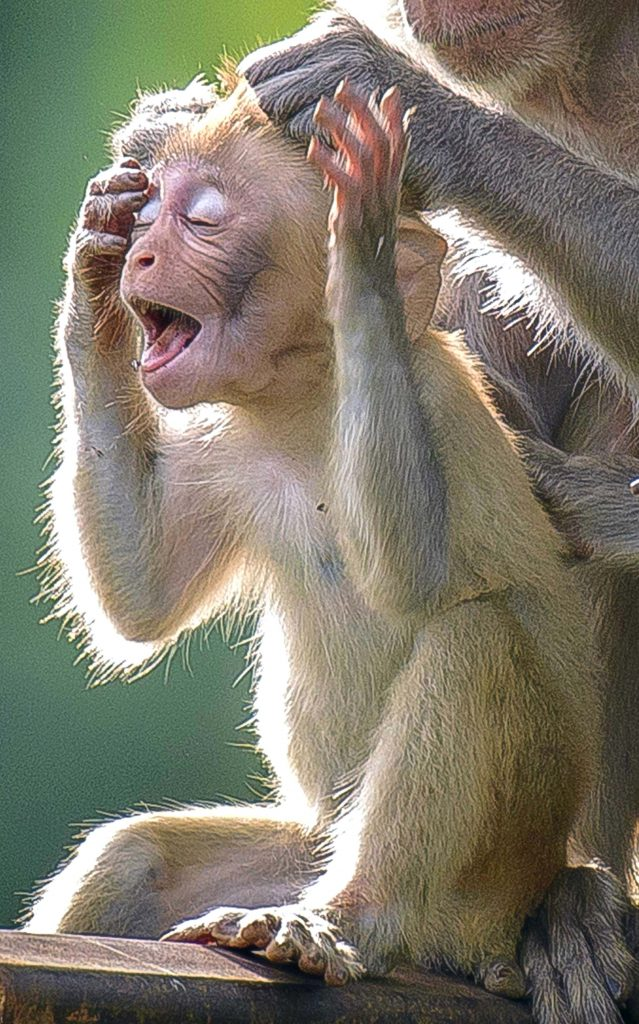 Ouch Mum That Hurts Adorable Baby Monkey Pulls A Face As