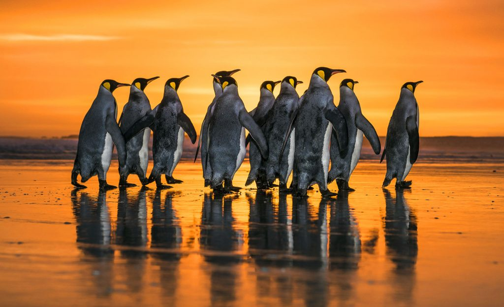 a8bce671d5 Wim van den Heever   Caters News – Wim s breathtaking images show a small  group of king penguins before they head out to sea at sunrise.