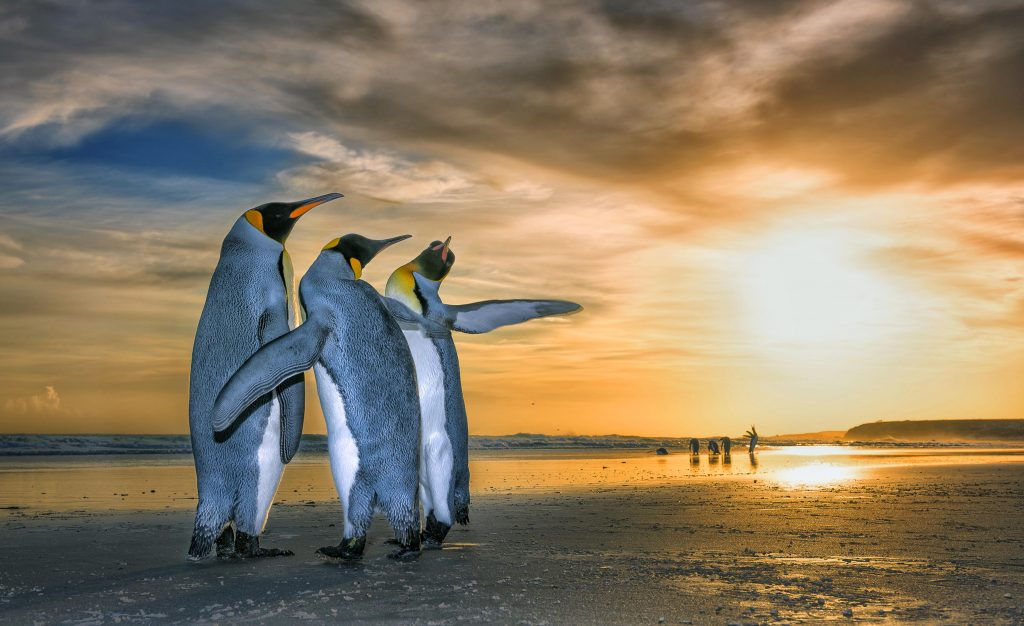 """f74d6a3427 Wim van den Heever   Caters News – Wim said  """"I feel as though the pictures  awaken a sense awe for the beauty of these king penguins and the remote  Falkland ..."""