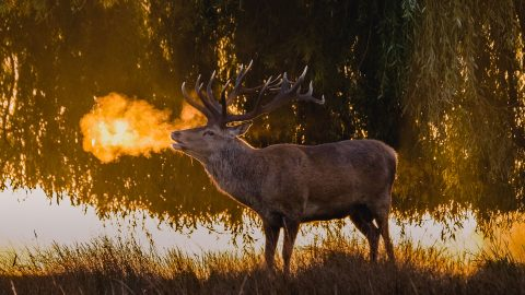Stunning pictures of fire-breathing stag Image