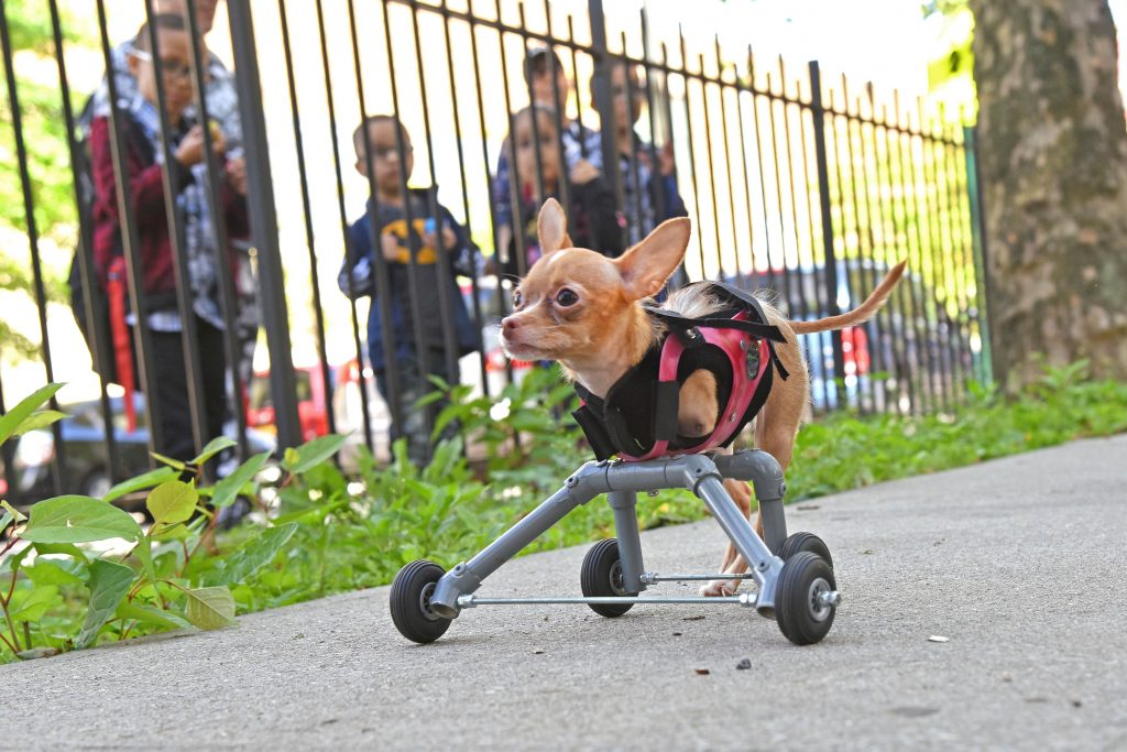 Chihuahua born with no front legs can now walk thanks to ...