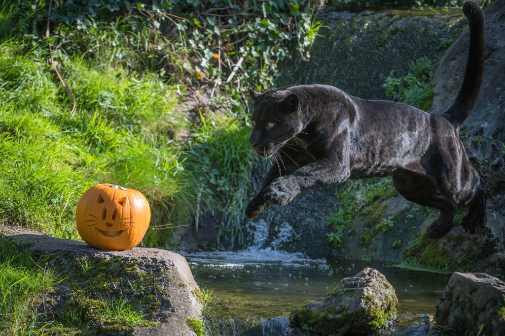 Pumpkin Presents For The Animals Of Chester Zoo Caters News Agency