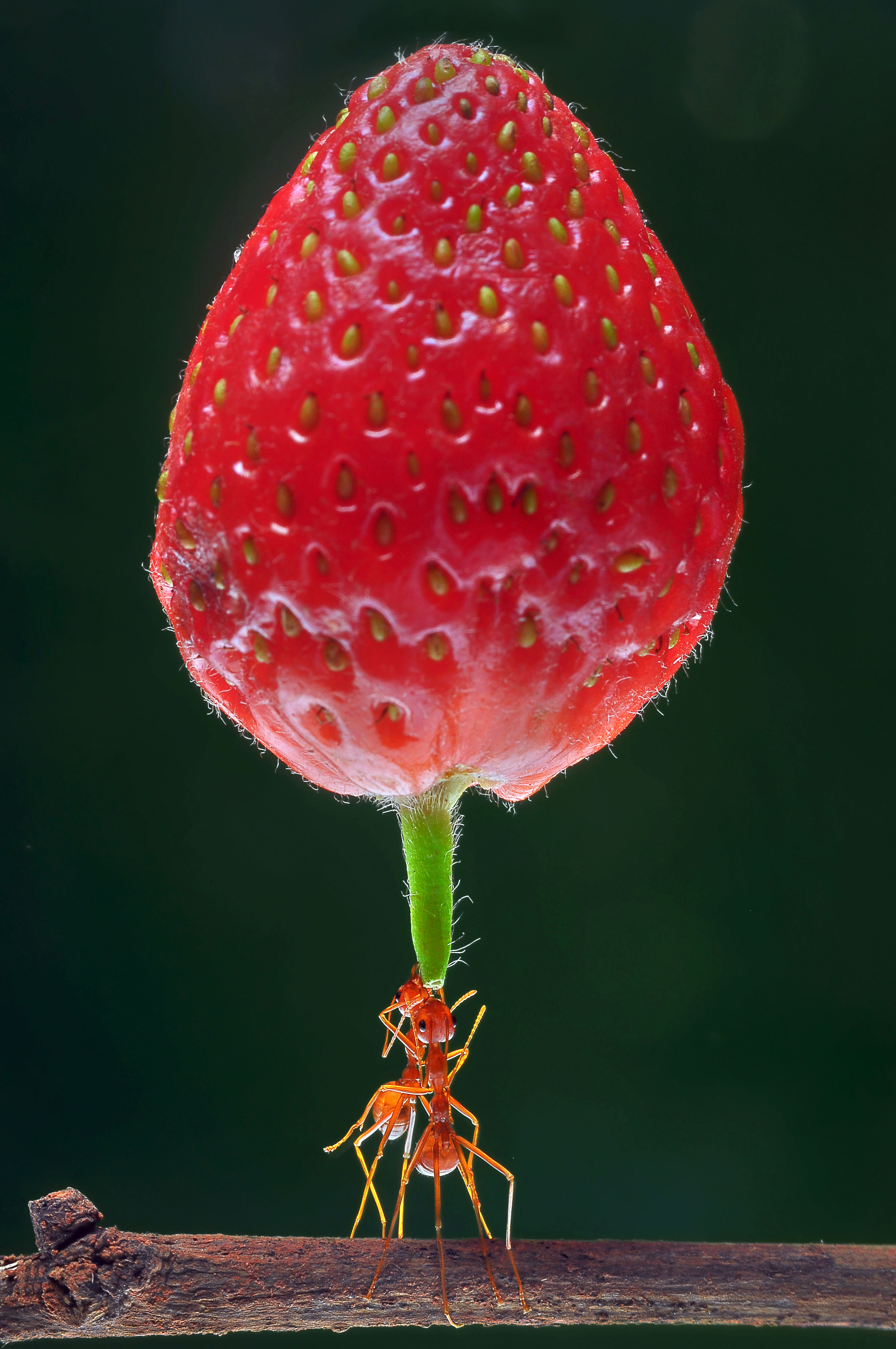 that u0026 39 s berry impressive  super strong ants show off
