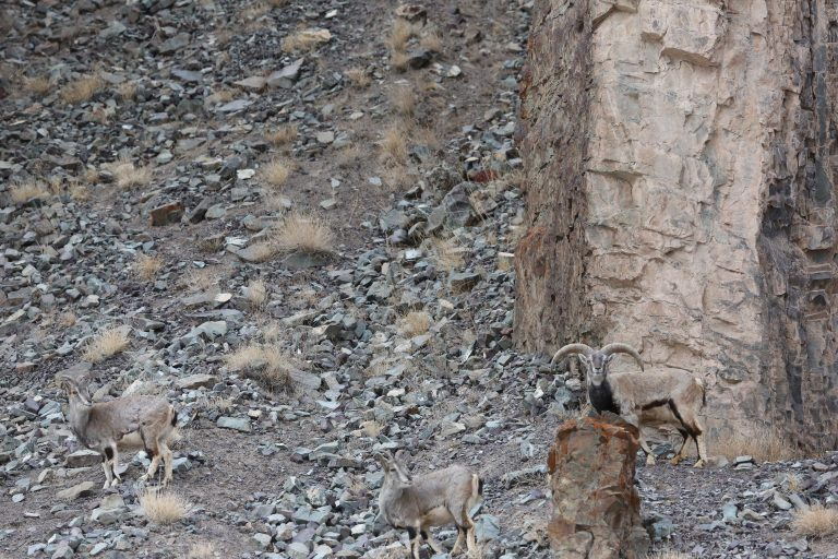 Like Fellow Felines Snow Leopards Are Obligate Carnivores Meaning They Only Feed On Other Animals Hunt As Opportunistic Feeders Can Survive