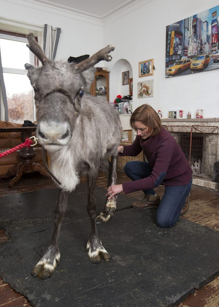 mad dash to be fit � reindeer receives physiotherapy to be