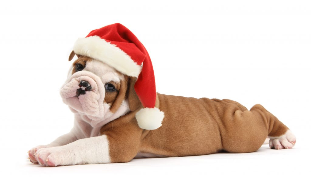 Merry Christmas Puppies.Have A Furry Merry Christmas These Adorable Snaps Of