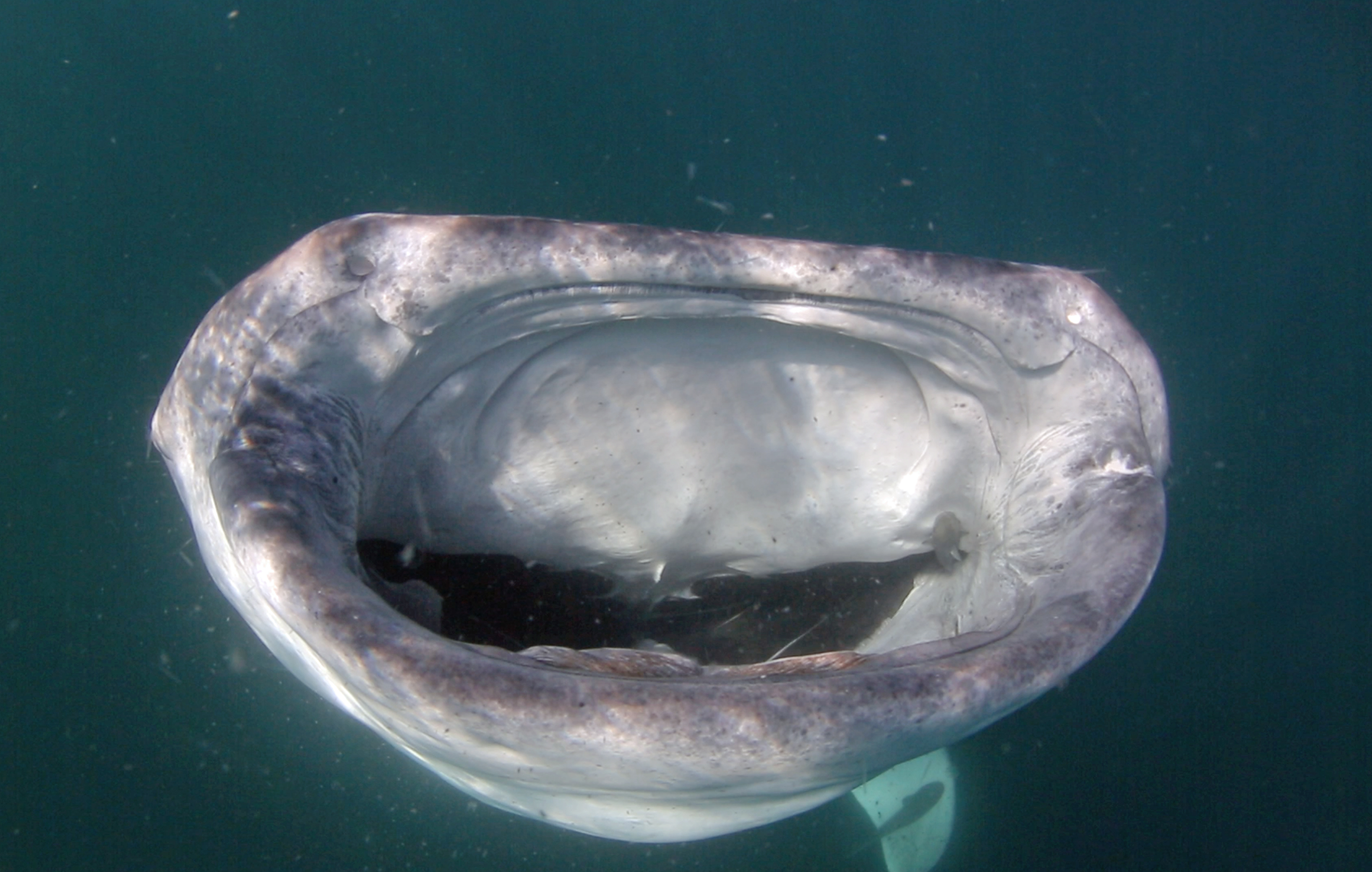 Aninimal Book: Open wide! Massive ten metre whale shark shows off ...