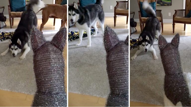 husky doesnt trust familys new christmas decoration as it looks strangely familiar