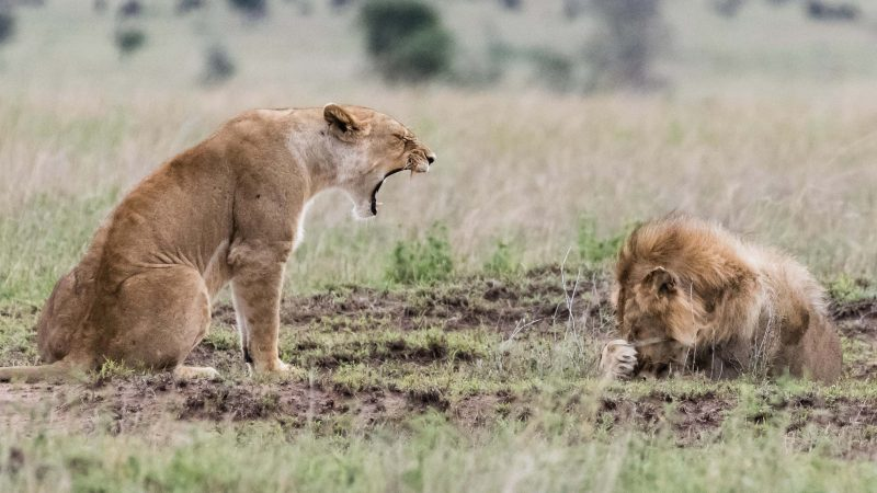 I'm roar-ly angry with you! Furious lioness gives male lion a real earful during fierce lover's tiff Image