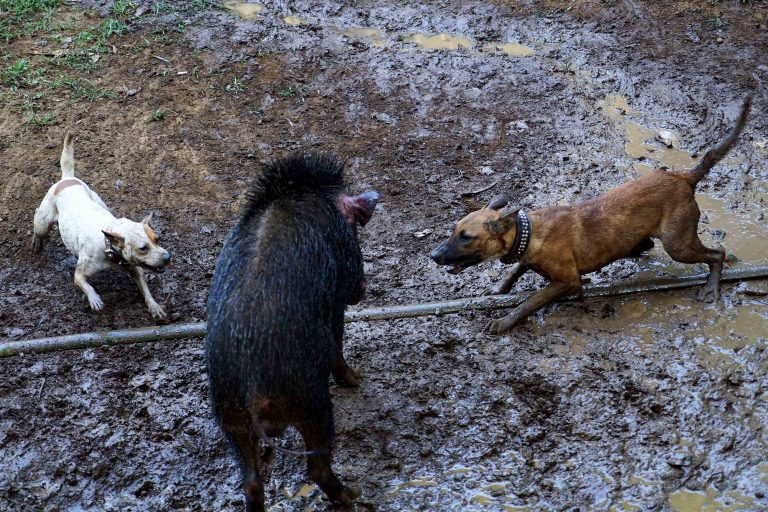 Inside the controversial dog versus boar death matches of