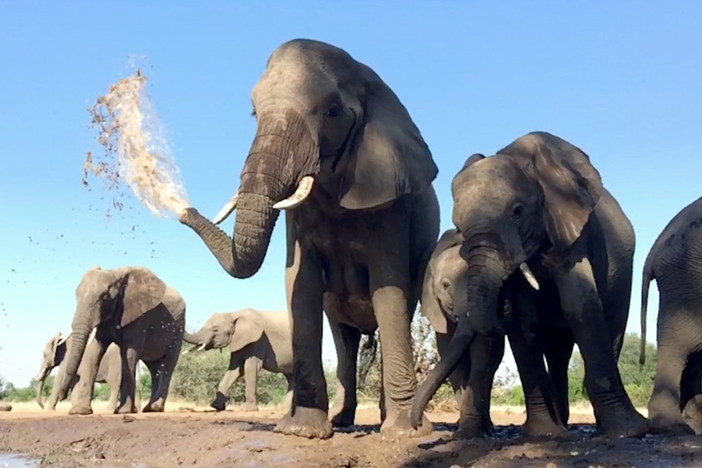 Dont say it spray it! Cheeky elephants squirts water from