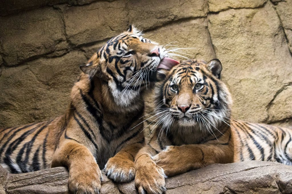 Easy tiger! Adorable tiger siblings share cuddles - Caters ...