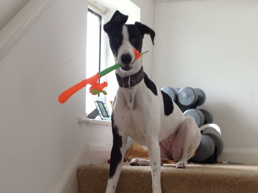 Shame Faced Lurcher Mauls Third Sofa In Two Year Chewing