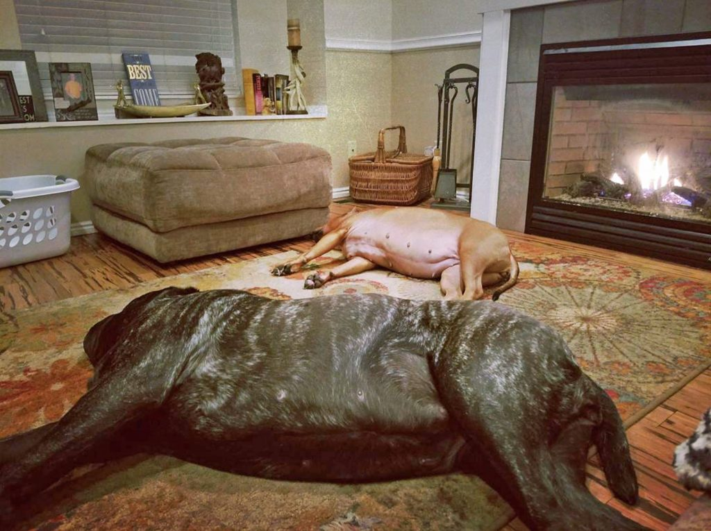 Meet the 'World's Biggest Puppy' bred to replicate extinct