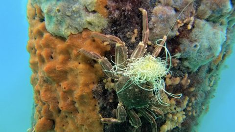Scared Crab Freed From Fishing Line Image