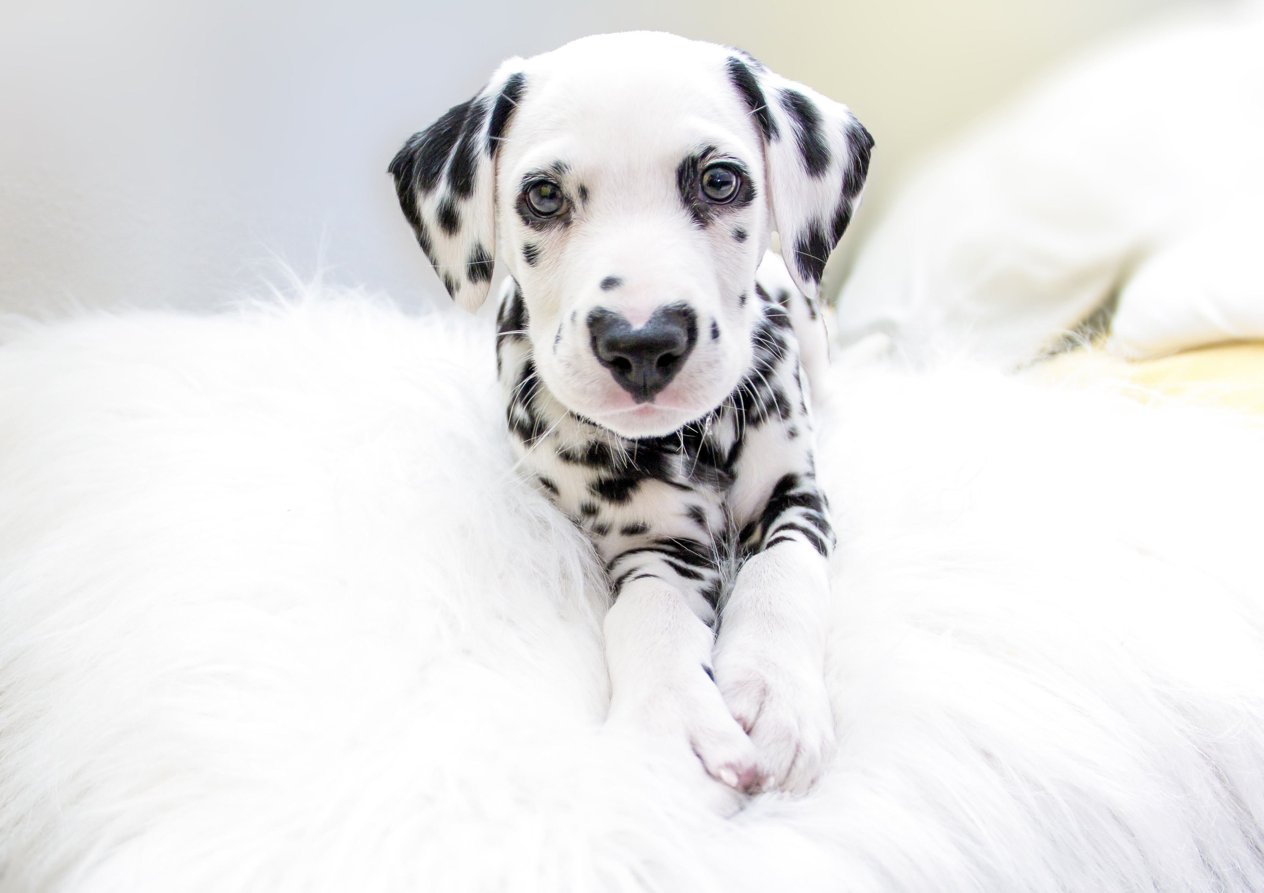 he s cute and he nose it adorable dalmatian puppy has heart shaped