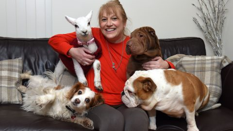 Baaaarking mad! Lamb saved from slaughterhouse thinks its a dog after living with rescuers four hounds Image
