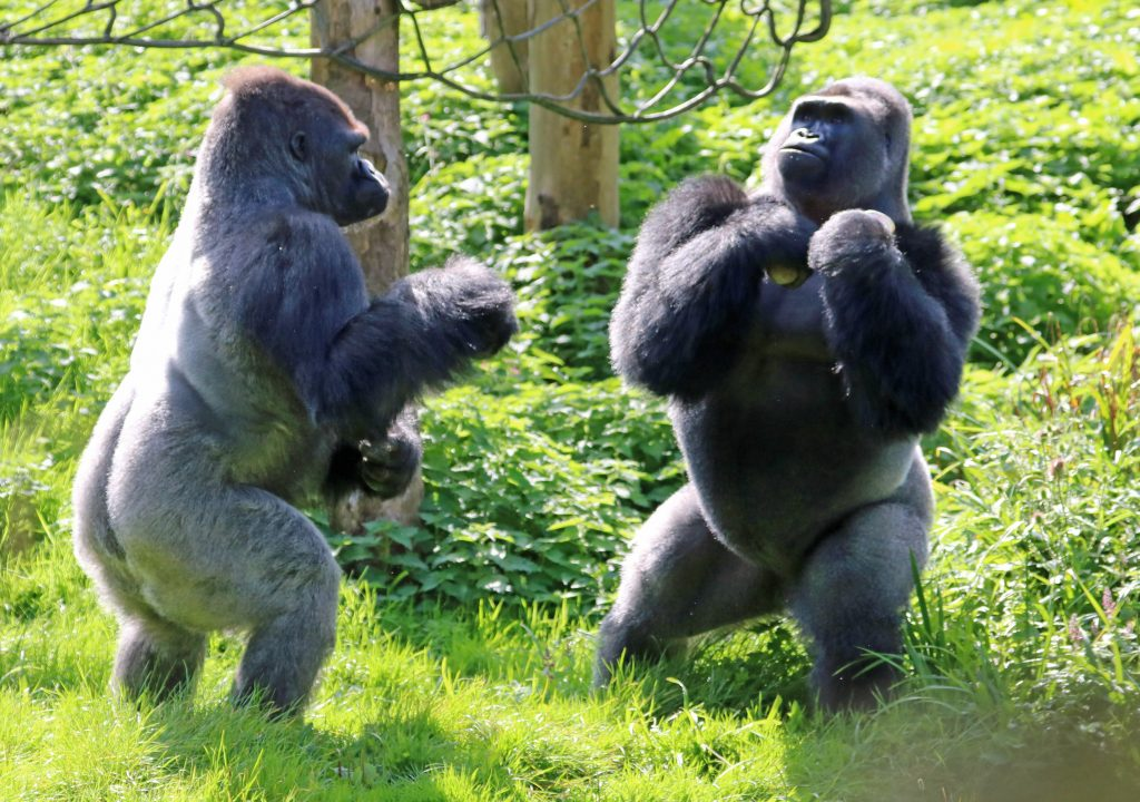 N'dowe Gorilla Rumble in the j...