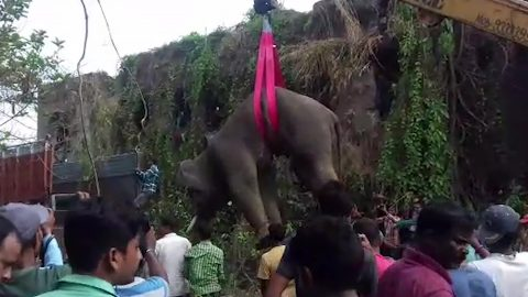 Adult elephant is tranquillised, lifted by crane and put onto transporter truck Image