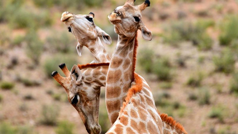 Round the twist! Three giraffes in sticky situation after getting necks entwined during embrace Image