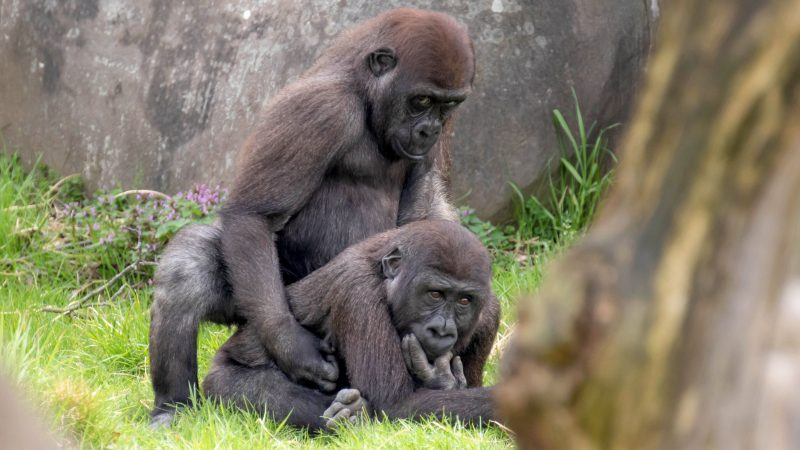 Curious george! Pair of gorillas get caught in the act by lurking photographer Image