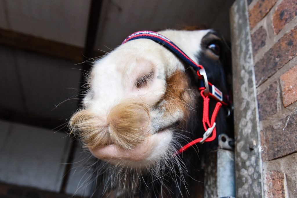 Grand moustache-ional! Horse sports impressive whiskers - Caters