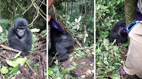 Lively baby gorilla caught on camera trying to play hide and seek with tourist in Ugandan forest Image