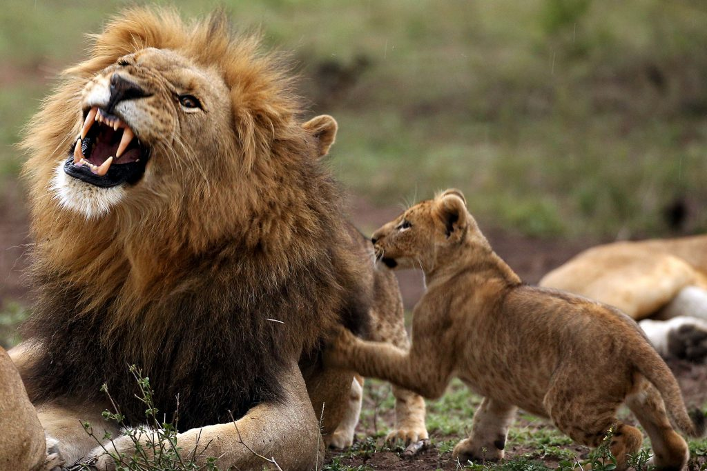 Roar-ly angry – Lion's frustration with cub written all ...