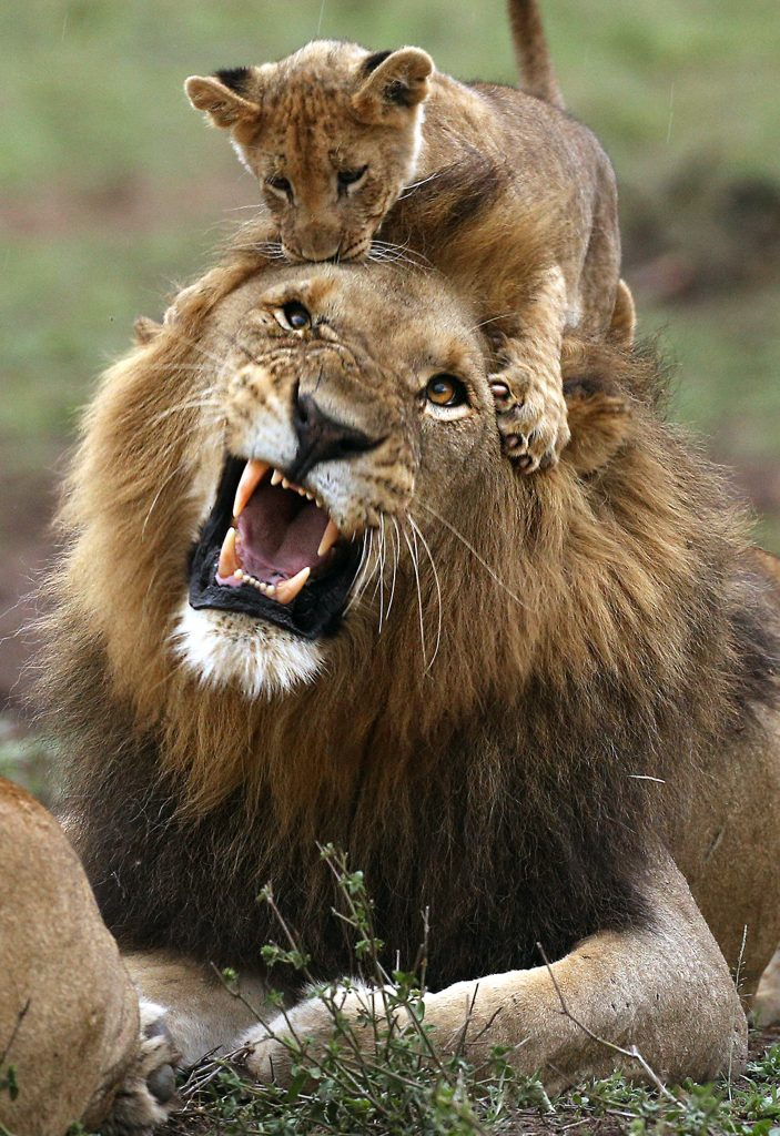 roar ly angry lion s frustration with cub written all over face
