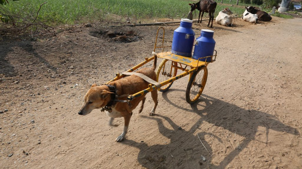 Kết quả hình ảnh cho dairy trader in a village in southern India has trained his dog Mani to deliver the milk to people in the village.