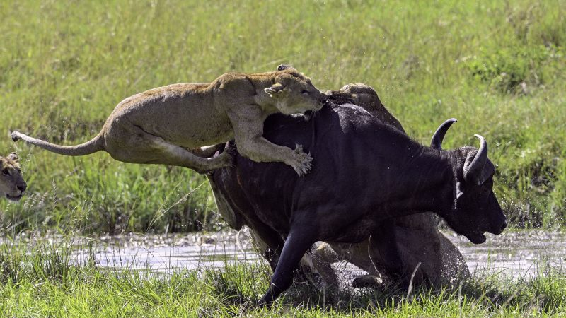Incredible images show buffalo being taken down by 15 lions Image