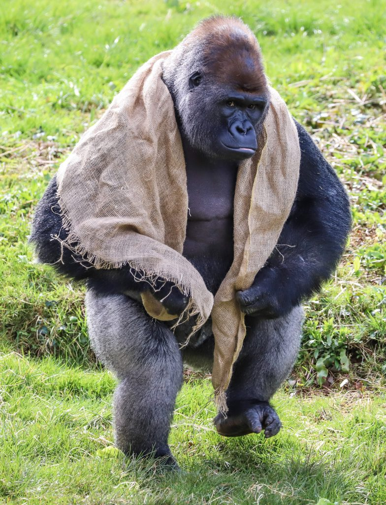 N'dowe Gorilla In his prim(at)...