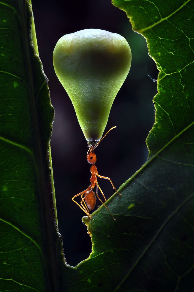 Ant lifts fruit in Greek god style show of strength