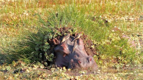 Hiding hippo takes cover with hilarious camouflage made from grass and moss Image