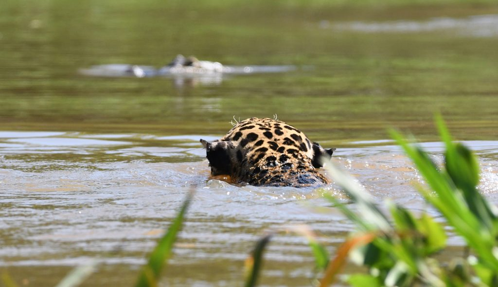 This Frantic Scene Showed The Sheer Power Of Some Of Natureu0027s Greatest  Creatures, As A Jaguar And Caiman Wrestled To The Death In A South American  River.