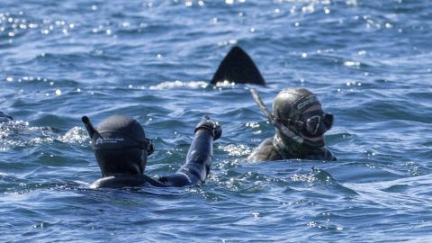 It's behind you! Divers jaws-dropped after huge dorsal fin pops up behind them – but all is not what it seems Image