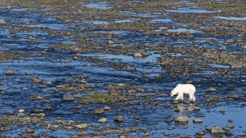 Lonely polar bear wonders across snow-less terrain Image