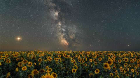 Captivating welsh sunflowers caught under an awesome milky way Image