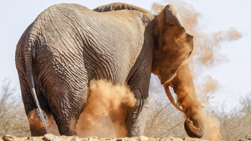 Clumsy elephant ends up with a face full of sand during chaotic dust bath Image