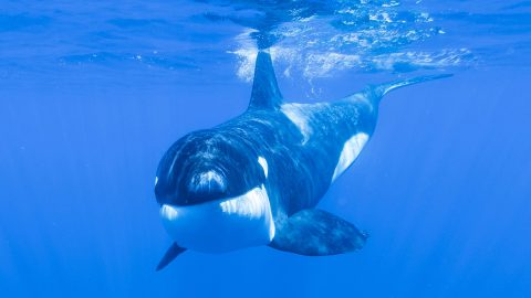 Toothy grin! Incredible shot of smiling orca shows whales can be friendly Image